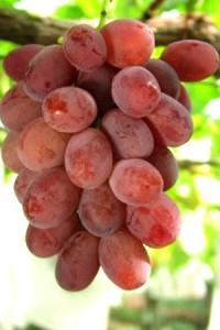 grape_13